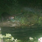 La llúdriga al riu Tenes